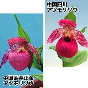 ラン アツモリソウセット 2種2芽|kokkaen