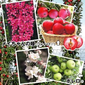 果樹苗 ミニリンゴ バレリーナツリーセット 2種2株 / 果...