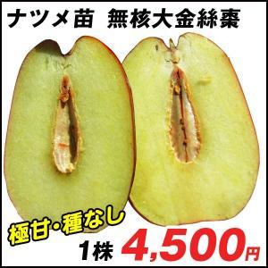 果樹苗 ナツメ 無核大金絲棗 (むかくたいきんいと) 1株 / 果物苗 フルーツ苗 kokkaen