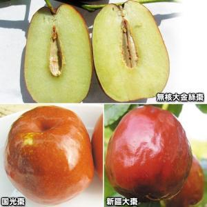 果樹苗 ナツメ 極上なつめセット 3種3株 / 果物苗 フルーツ苗 kokkaen