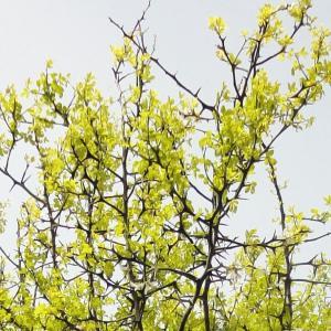 果樹苗 カンキツ カラタチ キコク 10株 / 果物 フルーツ苗 kokkaen
