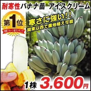 果樹苗 耐寒性バナナ アイスクリーム ウイルスフリー苗 1株 / 果物 フルーツ苗