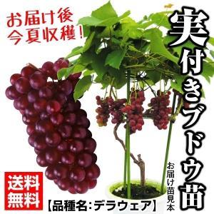 果樹苗 ブドウ デラウェア 実つき 1株 / 果物苗 フルー...