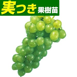 果樹苗 ブドウ ナイアガラ 実つき 1株 / 果物苗 フルー...