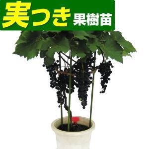 果樹苗 ブドウ メルロー 実つき 1株 / 果物苗 フルーツ苗 葡萄 ぶどう