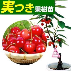 果樹苗 サクランボ 高砂 実つき 1株 / 果物苗 フルーツ...