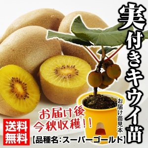 果樹苗 キウイ スーパーゴールド 実つき 1株 / 果物苗 フルーツ苗 kokkaen