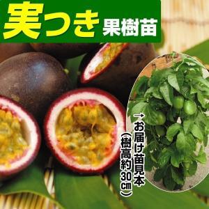 果樹苗 パッションフルーツ エデュリス 実つき 1株 / 果物苗 フルーツ苗 kokkaen