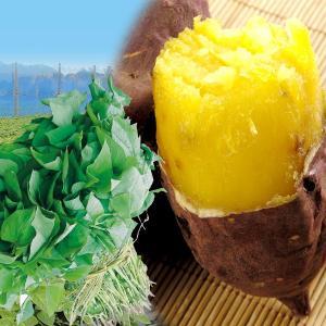 イモヅル シルクスイートPR(登録品種名HE306) 10本 / さつまいも苗 サツマイモ苗 薩摩芋|kokkaen
