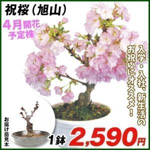 送料込 桜 祝桜(旭山) 1鉢 / さくら サクラ 花芽付き 開花予定株 陶器鉢植え付け済み 苗