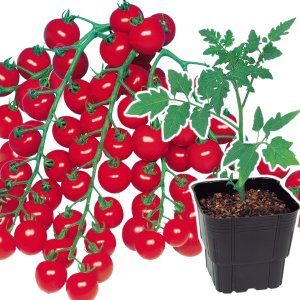 接木野菜苗 ミニトマト 接木F1こくうまチェリー 2株 / やさい 苗 家庭菜園 つぎき|kokkaen