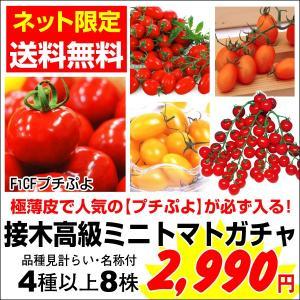 【送料無料】 接木野菜苗 接木高級ミニトマトガチャ 8株|kokkaen
