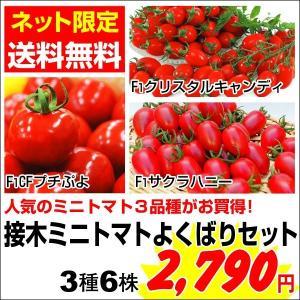 【送料無料】 接木野菜苗 接木ミニトマトよくばりセット 3種6株(各2株)|kokkaen