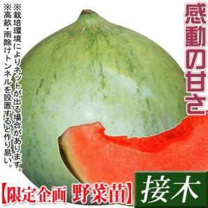 野菜苗特別企画 メロン 接木F1キューピット 1株 /送料グループ【R25D3】|kokkaen