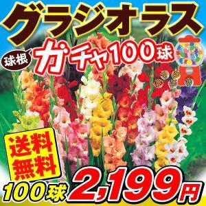 春植え球根 グラジオラス 100連ガチャ 100球1組 送料無料