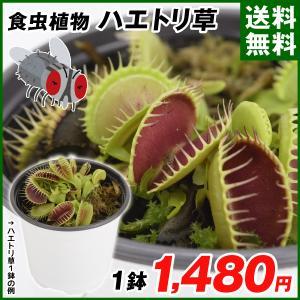 送料無料 食虫植物 ハエトリソウ 1鉢 kokkaen