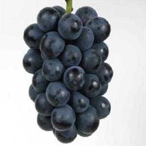 果樹苗 在庫処分 セール ブドウ ブラックビートP 1株 / 果物苗 フルーツ苗 葡萄 ぶどう kokkaen