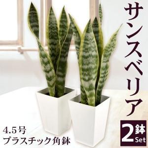 観葉植物 サンスベリア 4.5号プラスチック角鉢 2鉢 送料無料|kokkaen