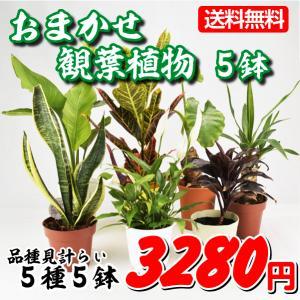 送料無料 鉢花 おまかせ観葉植物 5鉢 kokkaen