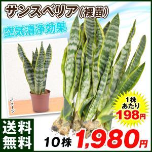 観葉植物 サンスベリア裸苗 10株 送料無料 kokkaen