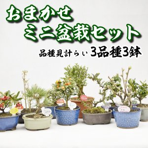 送料無料 ミニ盆栽 おまかせミニ盆栽セット 3種3鉢 kokkaen