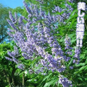 花木 セイヨウニンジンボク 濃青 1株|kokkaen