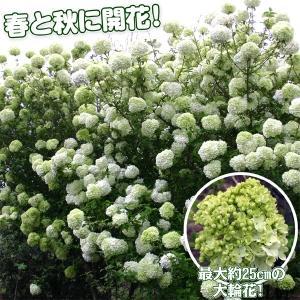 花木 大輪ガマズミ ステリーレ 1株|kokkaen