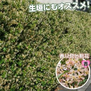 花木 テイカカズラ 桃花 1株|kokkaen