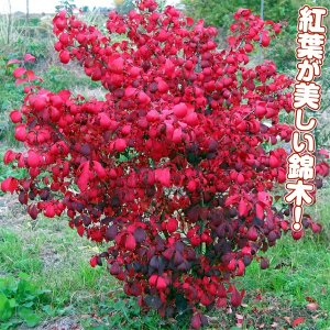 花木 ニシキギ コンパクタ 1株 /庭木 苗木 苗 植木 にしきぎ|kokkaen