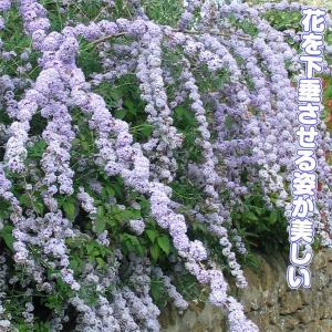 花木 ブットレア アルタニフォリア 1株 /庭木 苗木 苗 植木|kokkaen