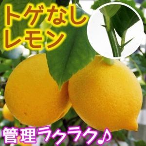 送料込 果樹苗 苗木 苗 カンキツ トゲなしレモン 1株|kokkaen