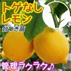 送料込 果樹苗 苗木 苗 カンキツ トゲなしレモン台つき 1株 / れもん 檸檬|kokkaen