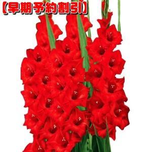 【早期割引】 春植え球根 グラジオラス 普通球 赤 80球