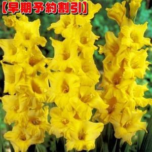 【早期割引】 春植え球根 グラジオラス 普通球 黄 80球