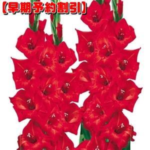 【早期割引】 春植え球根 グラジオラス 特大球 赤 40球