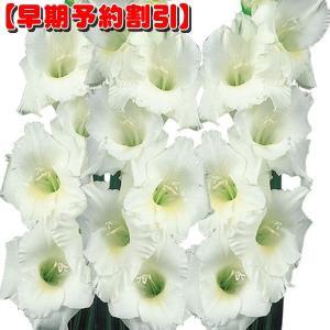 【早期割引】 春植え球根 グラジオラス 特大球 白 40球
