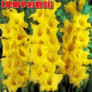 【早期割引】 春植え球根 グラジオラス 特大球 黄 40球