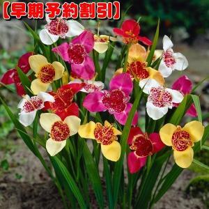 【早期割引】 春植え球根 チグリジア パボニアミックス 30球
