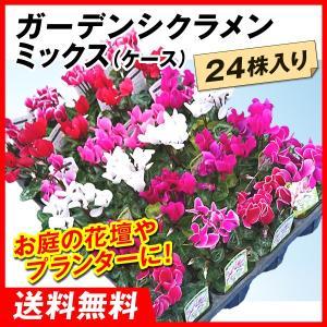 送料無料 花苗大特価 ガーデンシクラメン苗 ケース販売 1ケース24株入り kokkaen