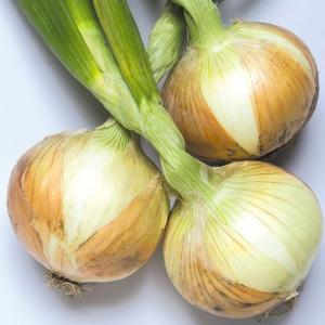 玉ねぎ苗 F1スパート 200本 / 国華園|kokkaen