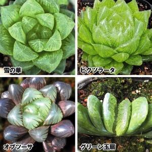 送料無料 多肉植物 ハオルチアセット 4種4株/ ハオルシア ハウルチア|kokkaen