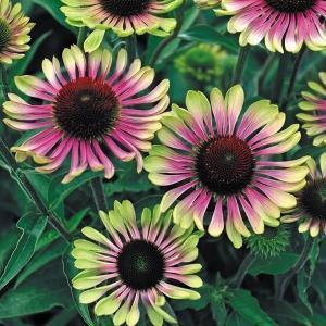 商品情報 エキナセアはくっきりとした花姿が人気の品種です。観賞期間も長く夏花壇の彩りに重宝されていま...
