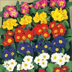 商品情報 冬から春にかけて開花し、パンジー・ビオラとの寄せ植えにピッタリ!発色良い鮮やかな花色。 お...