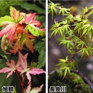 花苗 モミジセット 2種2株 / もみじ 紅葉 花木 苗木|kokkaen