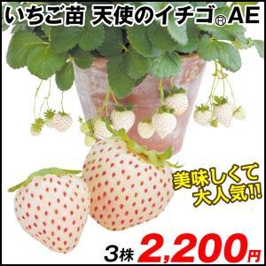 いちご苗 天使のイチゴ(R) AE 3株 / 国華園|kokkaen