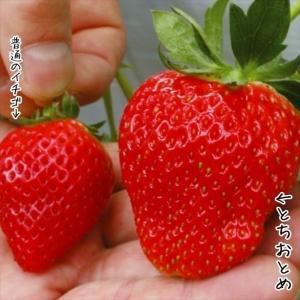 いちご苗 とちおとめP 3株 / 国華園|kokkaen