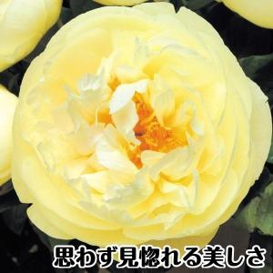 芍薬苗 苗木 レモンシフォン 1株 / しゃくやく シャクヤク|kokkaen