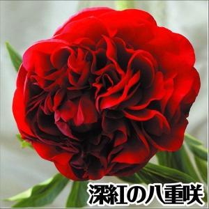芍薬苗 苗木 キャロル 1株 / しゃくやく シャクヤク|kokkaen