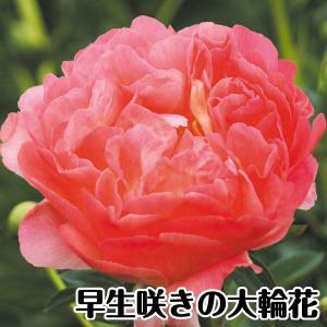 芍薬苗 苗木 コーラルサンセット 1株 / しゃくやく シャクヤク|kokkaen