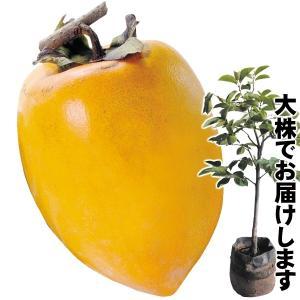 送料無料 果樹苗 カキ あたご柿大株 1株 / 苗木 苗 かき 渋柿|kokkaen